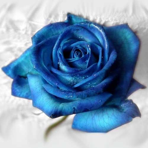 Comprar Rosas Azules Preparadas para San Jorge