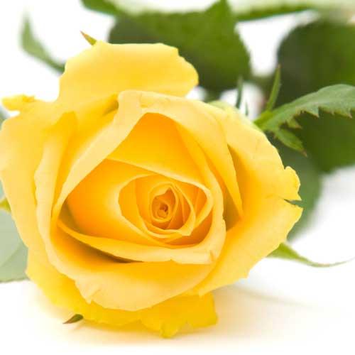 Comprar Rosas Amarillas Preparadas para San Jorge